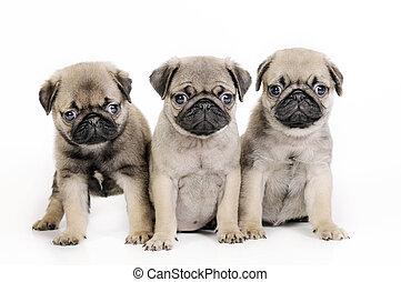 puppies., trois, carlin
