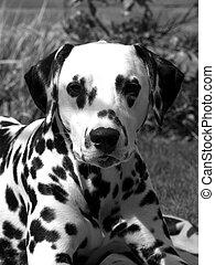 puppy., ダルマチア語