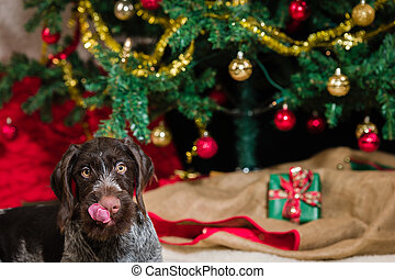 German wirehaired pointer puppy, Christmas tree and presents on background