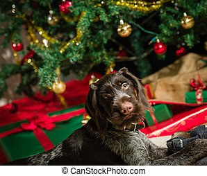 German wirehaired pointer puppy playing with a shoe, Christmas tree and gifts on background