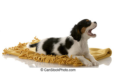 tri color cavalier king charles spaniel with mouth open laying on yellow blanket on white background