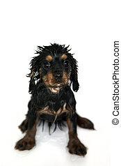 Marmaduke the black and tan Cavalier King Charles spaniel puppy gets a bath