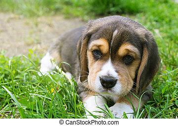 puppy beagle lies in the grass