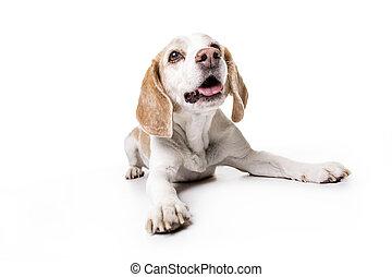 puppy Beagle on white background