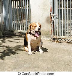 Puppy beagle yawning in morning