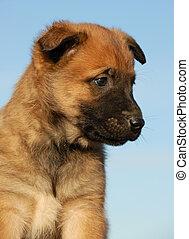 portrait of a purebred puppy belgian sheepdog malinois