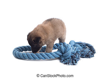 Puppy, Belgian Shepherd Tervuren, playing with rope, isolated