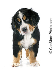 puppy bernese moutain dog - portrait of a purebred bernese ...