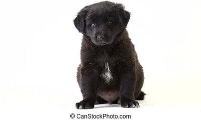 puppy black  isolated on a white screen