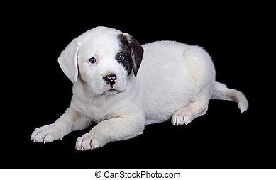 puppy, black , vrijstaand