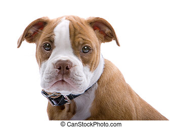 half-lenght of puppy Boxer isolated on a white background
