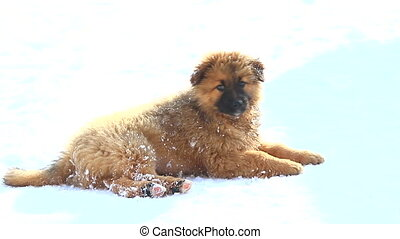 puppy brown isolated on a white background