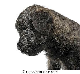 Puppy cairn terrier portrait in a white studio