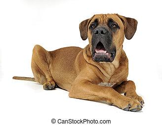 Puppy Cane Corso in white background photo studio