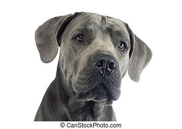 puppy canecorso portrait in white studio