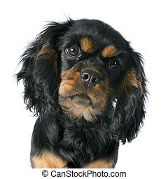 puppy cavalier king charles