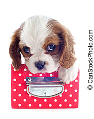 puppy cavalier king charles - young blenheim cavalier king...
