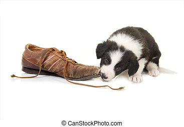 d34f1666 Puppy chewing shoes. French bulldog puppy chewing on pair of red ...