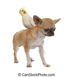 puppy chihuahua and cockatiel