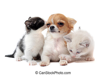 puppy chihuahua and kitten - portrait of a cute purebred...