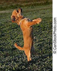 puppy chihuahua - puppy purebreed chihuahua