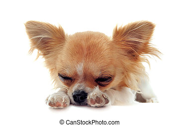 puppy chihuahua tired