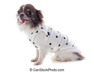 puppy chihuahua with tshirt