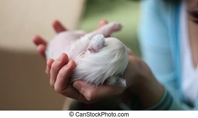 Puppy Chinese crested dog lies on the hands of girls