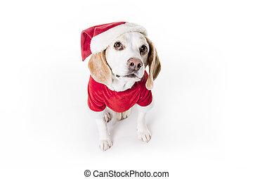puppy christmas Beagle on white background