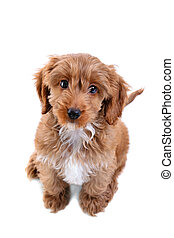 Puppy Cockapoo isolated on white - Photo of an 11 week old ...