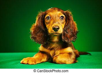 puppy dachshund on a green background