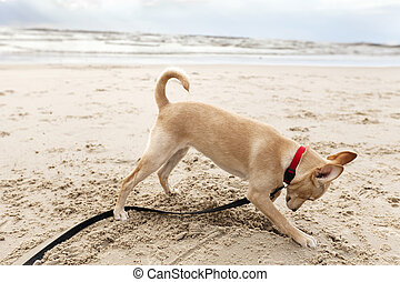 Puppy Digging at the Beach - A beije colored 4 months old ...