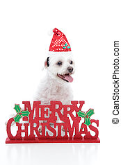 Puppy dog and Merry Christmas sign - A small white maltese...
