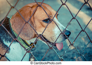 Puppy Dog, animal and pet at home, small cute beagle
