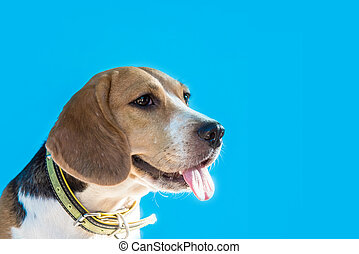 Puppy Dog, animal and pet, small cute beagle on blue...