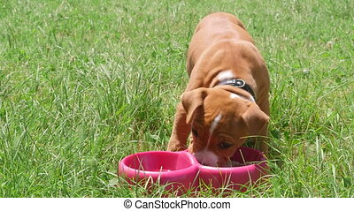 Puppy dog eating his food from dish on the grass