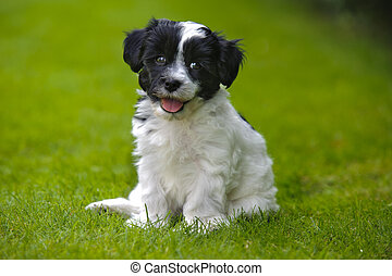 puppy dog havaneser