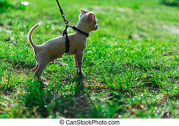 Puppy. Dog on a leash.