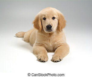 puppy dog on white background