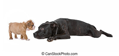 puppy, en, dog