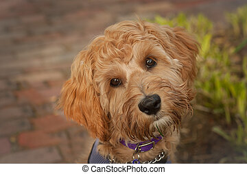 Puppy face - Five month old labradoodle puppy close up of...