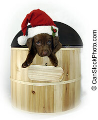 Puppy for Christmas - Chocolate Labrador puppy peeks out of...