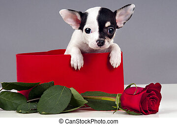 Puppy for present. - Cute Chihuahua puppy in a gift box with...