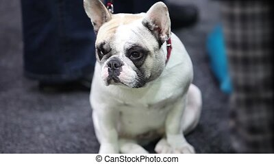 puppy  french bulldog - French bulldog the puppy close-up
