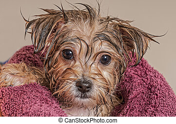Puppy Getting Dry After His Bath - Morkie Puppy Getting Dry...