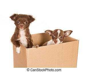 puppy, honden, in, een, doosje