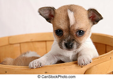Puppy in a basket - Chihuaha puppy poking its head out of a...