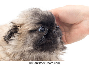 Puppy in hand on a white background