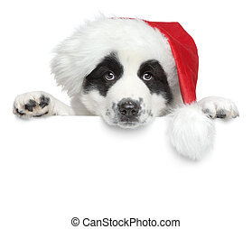 Puppy in Santa red hat on a white banner - Central asian...