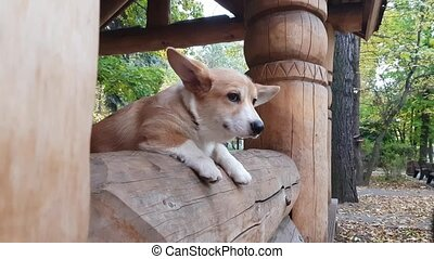 Puppy in window - Corgi Puppy in wooden house window in...